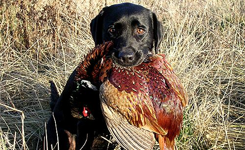 Dog and pheasant